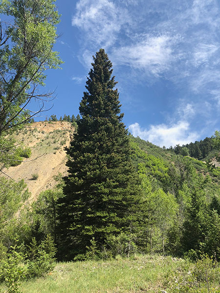 The 2019 U.S. Capitol Christmas Tree in the Carson National Forest of New Mexico.