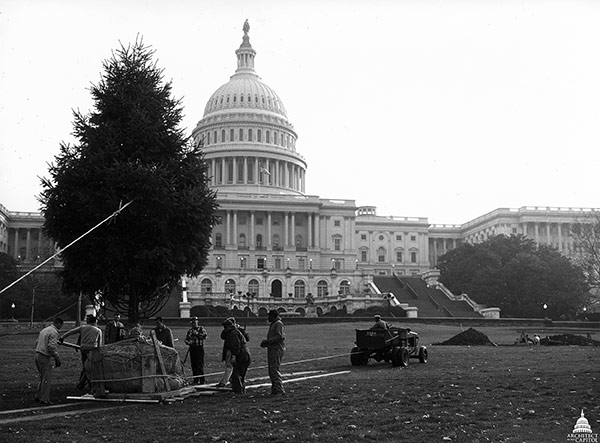 The first U.S. Capitol Christmas Tree being planted on the West Front in 1964.