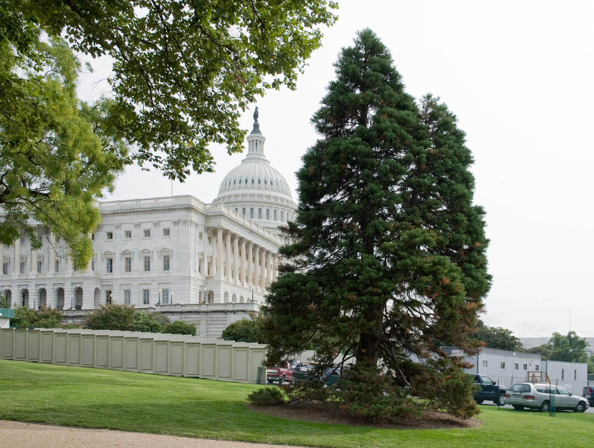 Giant Sequoia with the U.S. Capitol in the background.