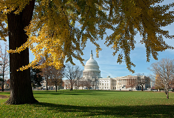 View of the U.S. Capitol from under a gingko tree on the West Front.