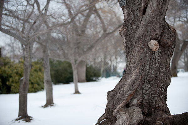 Detail of a tree on the U.S. Capitol's West Front during winter.