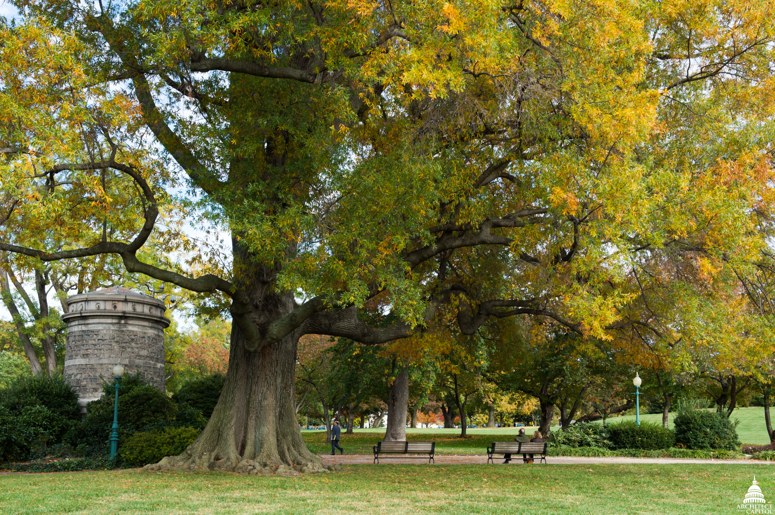 Willow Oak (Quercus phellos)