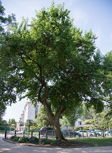 An Osage orange tree on the U.S. Capitol Grounds during the summer.