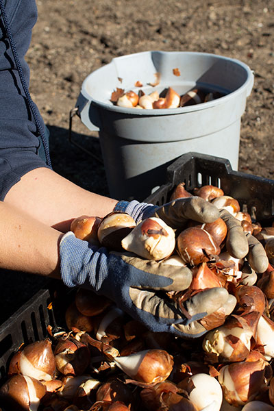 AOC Capitol Grounds and Arboretum planting bulbs during the autumn season.