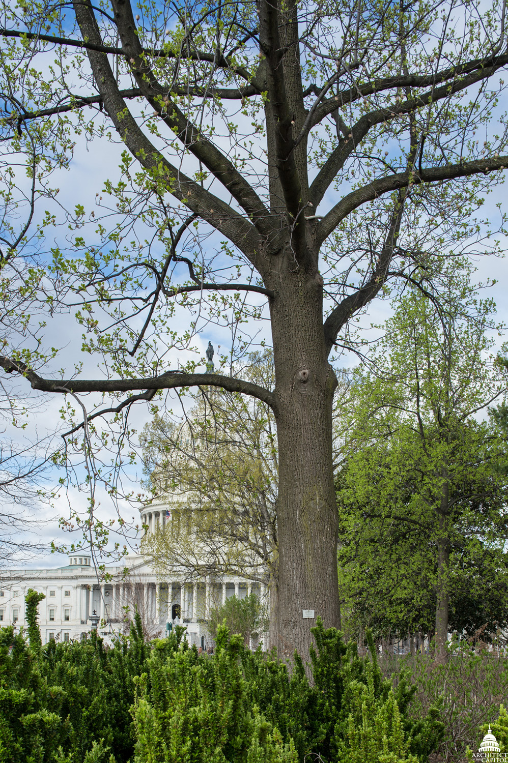 The Liberty Tree on Capitol Grounds.