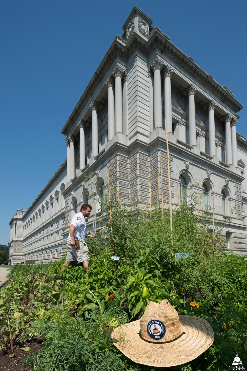 Rob Gimpel checks on War Garden tomato vines at the southeast corner of the Jefferson Building.