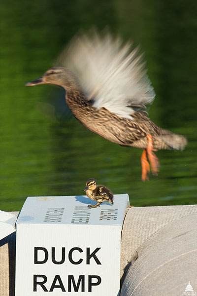A duckling is spotted using the Capitol Reflecting Pool duck ramp with a duck overhead.