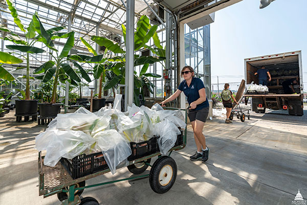 USBG gardener Paula Waltz hauls a cartload of orchids into the Production Facility, each individually wrapped to prevent possible disease transmission.