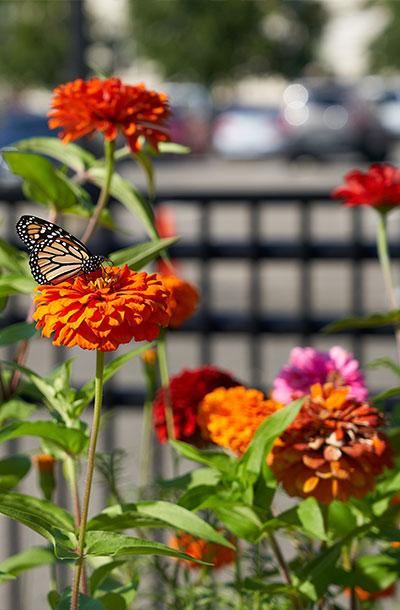 A butterfly on one of the flowers in the pollinator garden near Capitol South Metro station.