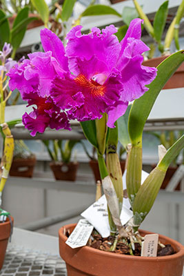 Rhyncolaeliocattleya Tampico stands proud among the donated orchids.