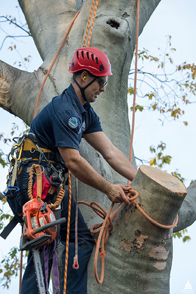 An Architect of the Capitol Arborist caring for a tree on the U.S. Capitol Grounds.