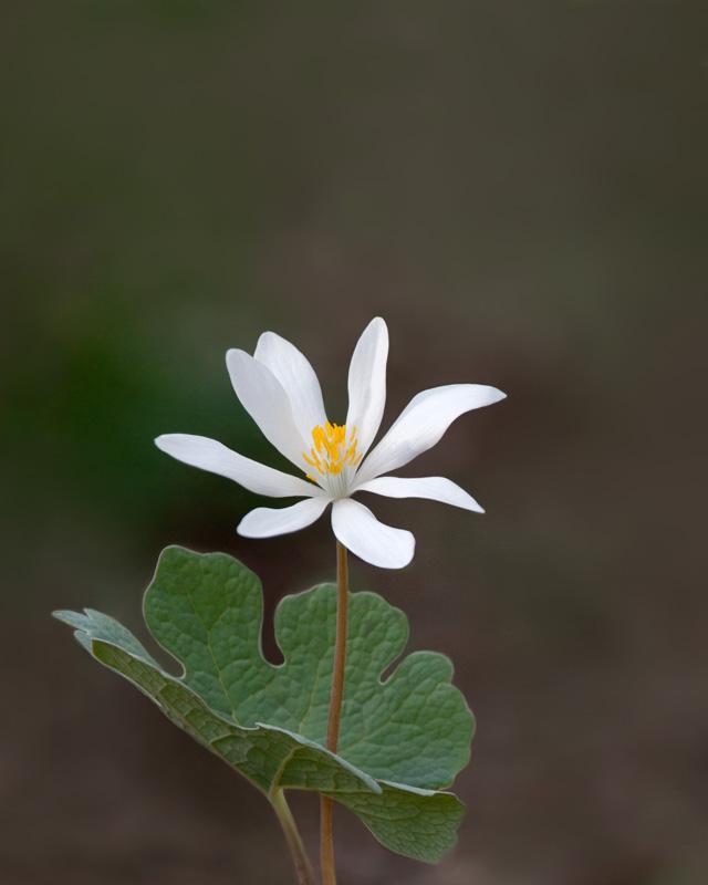 Bloodroot flower in bloom