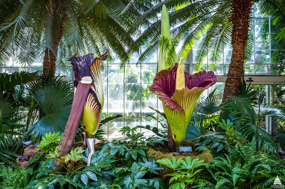 Three corpse flowers on display in the U.S. Botanic Garden Conservatory.