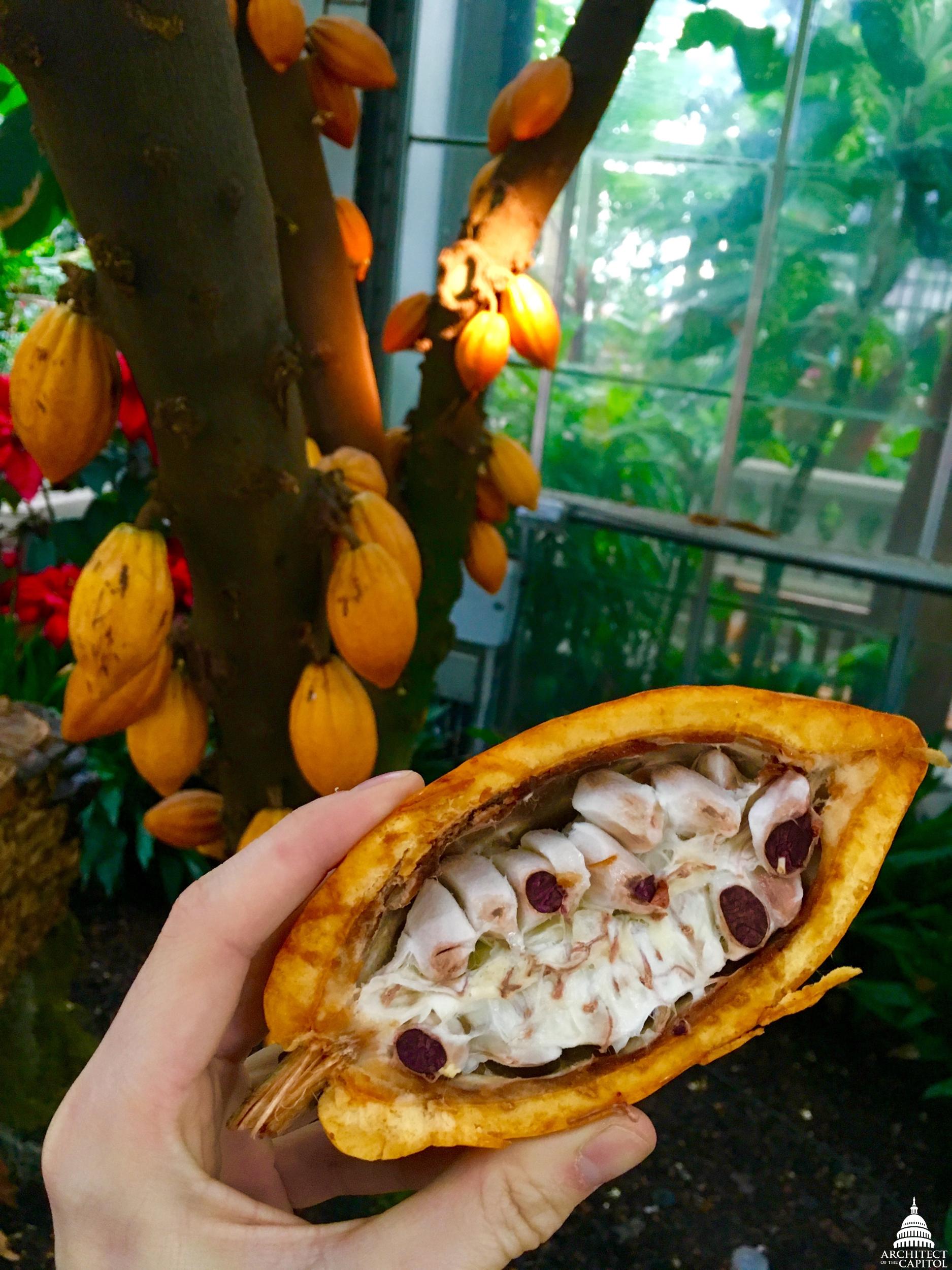 "The U.S. Botanic Garden's Theobroma cacao \""chococlate\"" tree."