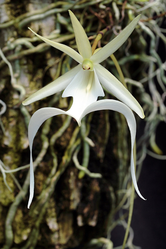 The Dendrophylax_lindenii is a perennial epiphyte.