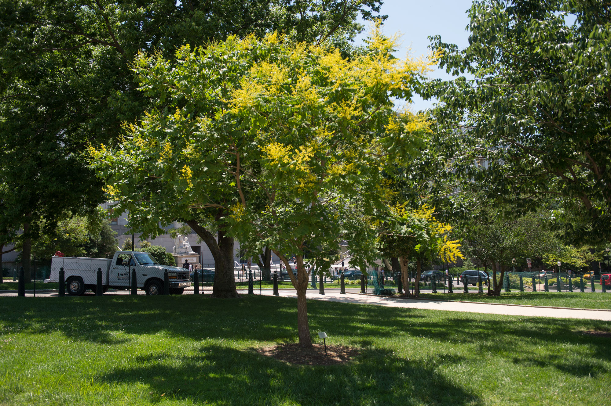 The Wangari Maathai tree on Capitol grounds in the summer.