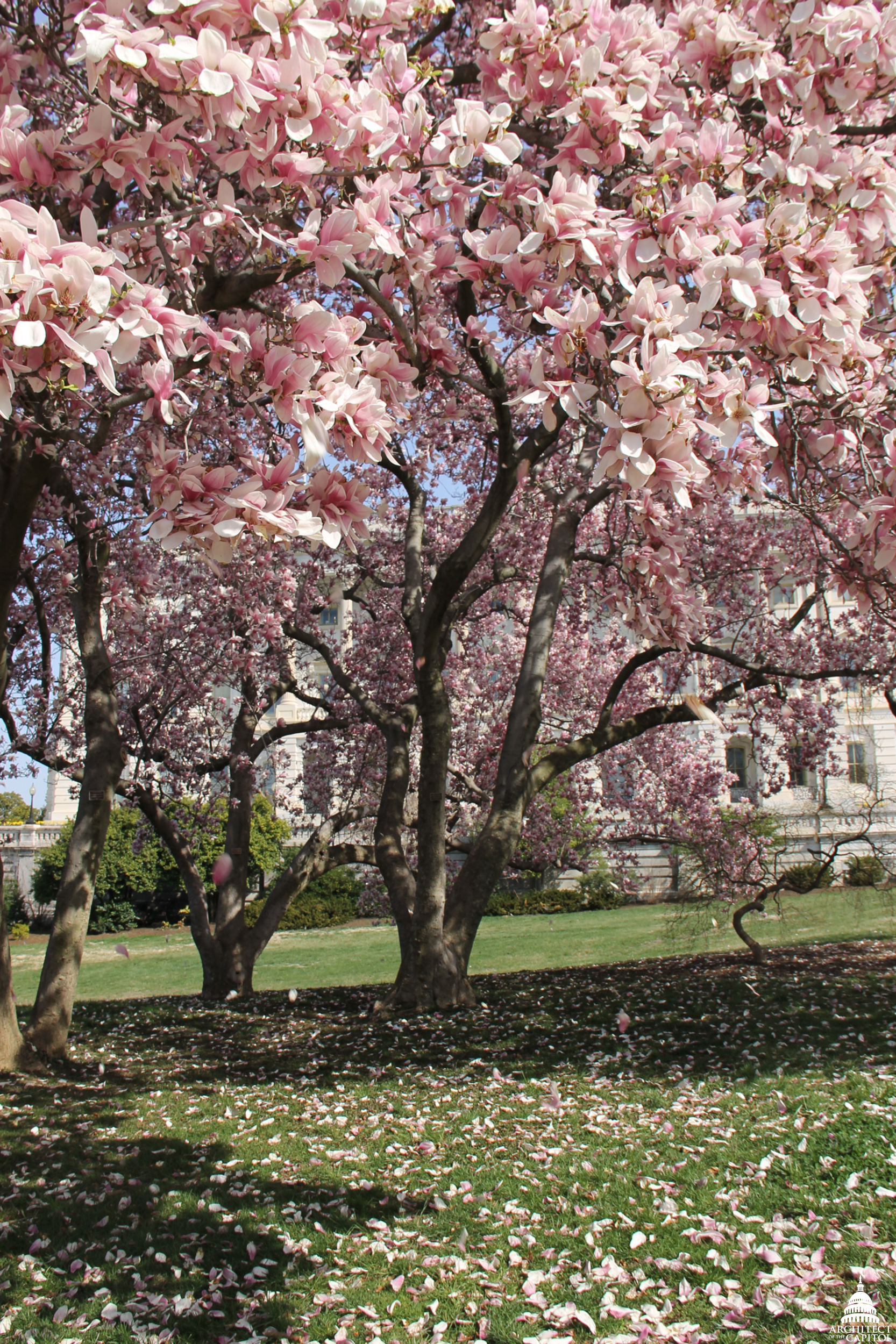 Magnolia blossoms on the Capitol grounds.