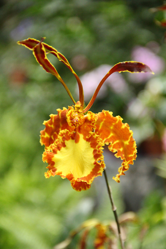 Photograph of a Psychopsis Mariposa flower