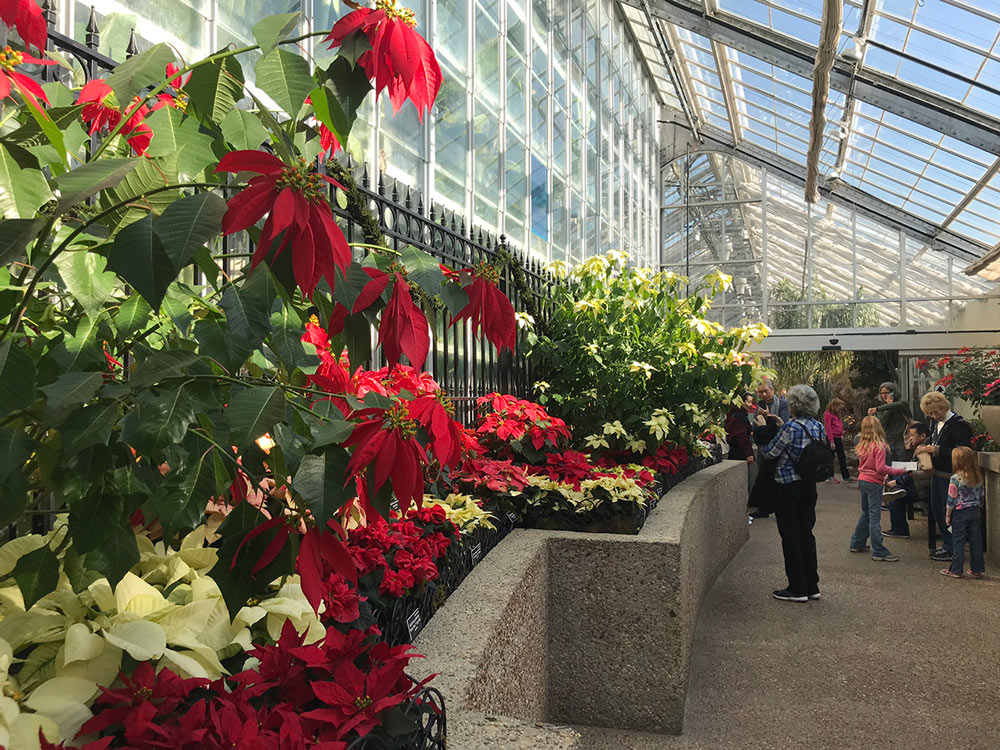 Poinsettia display at the United States Botanic Garden.