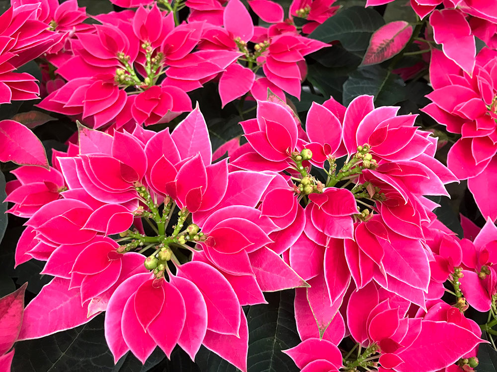 New poinsettia hybrid 'Luv U Hot Pink.'