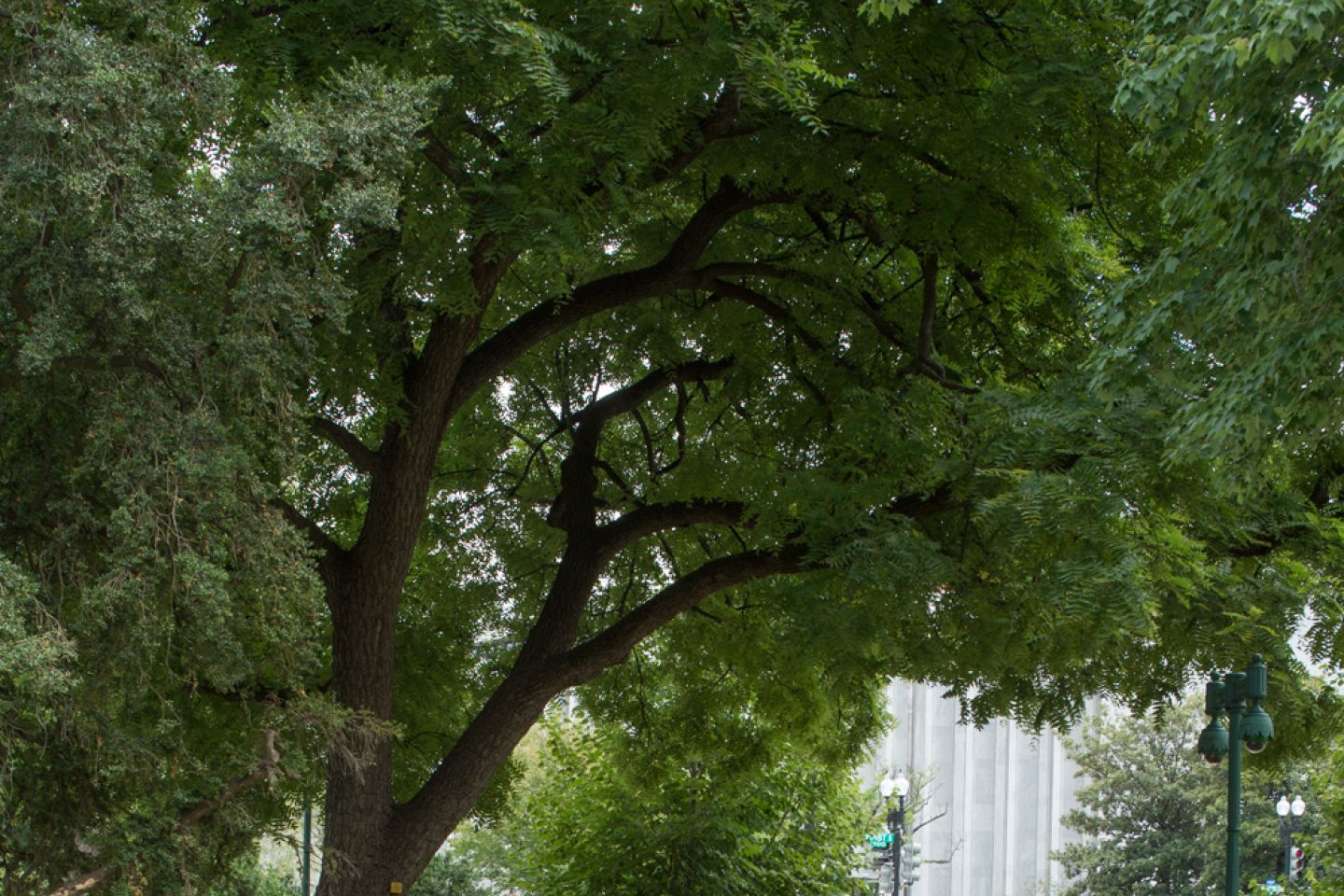 The Arbor Day Founder tree on U.S. Capitol Grounds in summer.