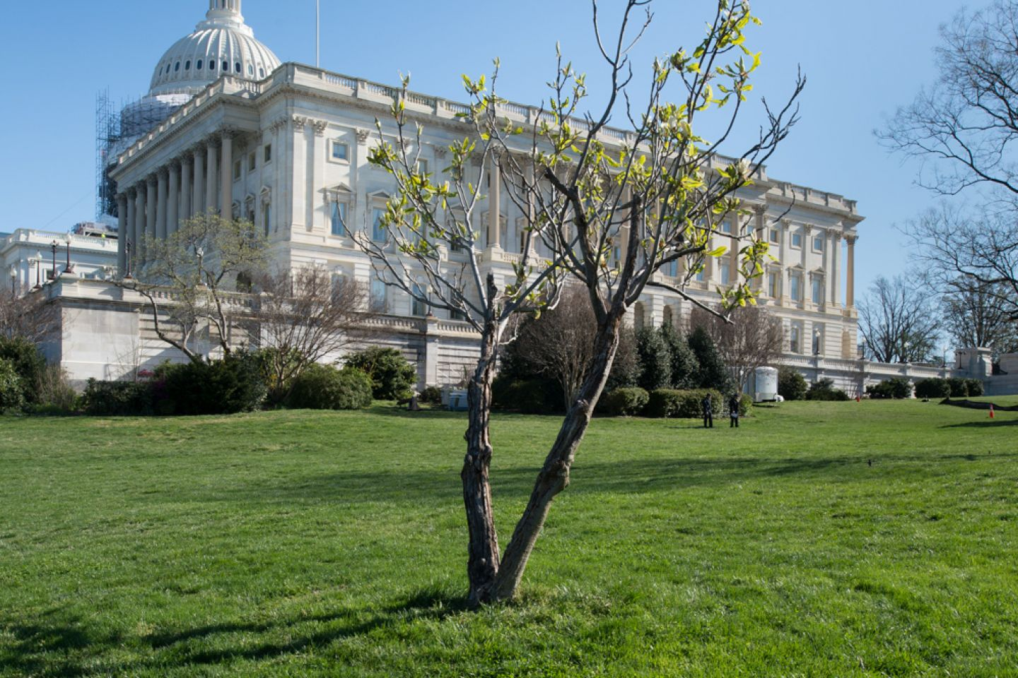The Wangari Maathai tree on U.S. Capitol Grounds in spring.
