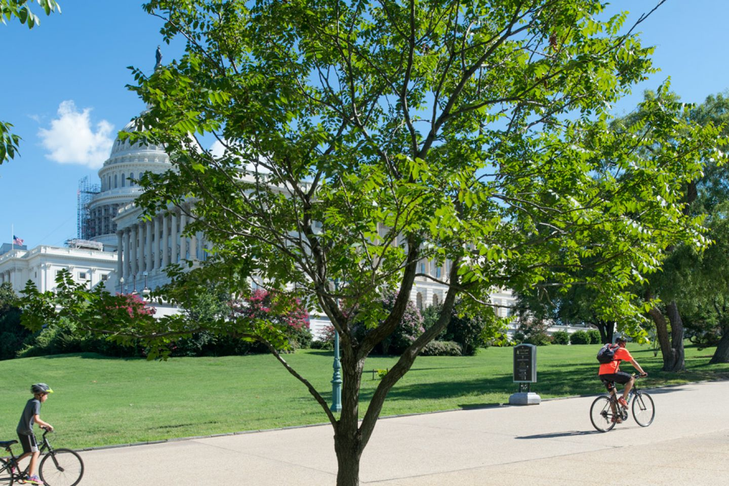 The Wangari Maathai tree on U.S. Capitol Grounds in summer.