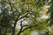 The Arbor Day Founder tree on U.S. Capitol Grounds in fall.