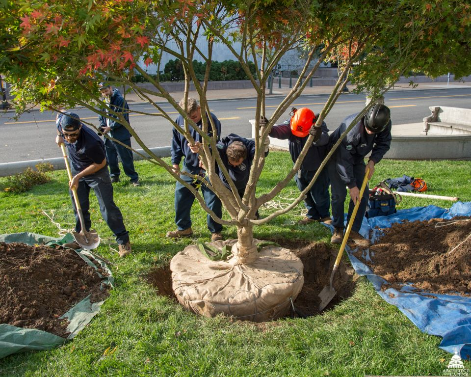 A new tree being planted near the U.S. Capitol.