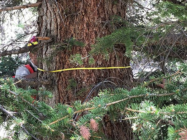 Measuring the trunk of a tree in the Carson National Forest of New Mexico.