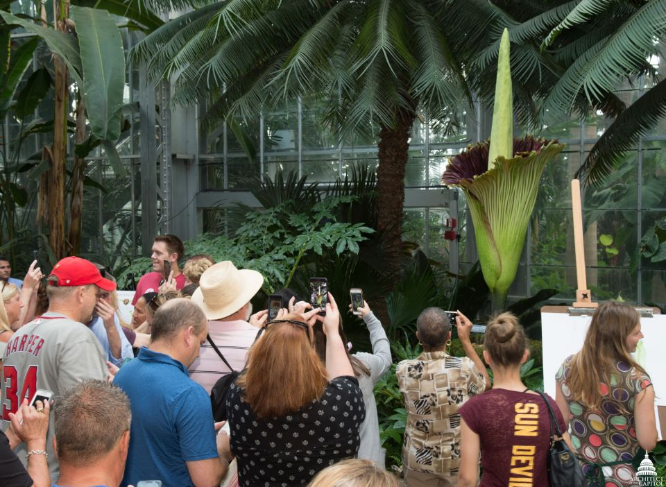 Crowds came from miles around to see this famous plant.