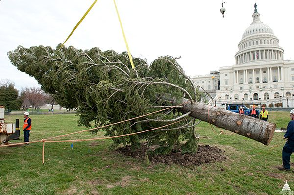 AOC Capitol Grounds prepares to place the 2011 Christmas tree on the West Lawn.
