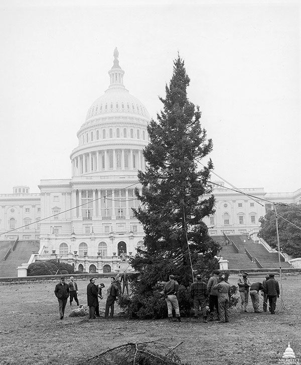 AOC workers anchor the 1971 U.S. Capitol Christmas Tree on the West Lawn.