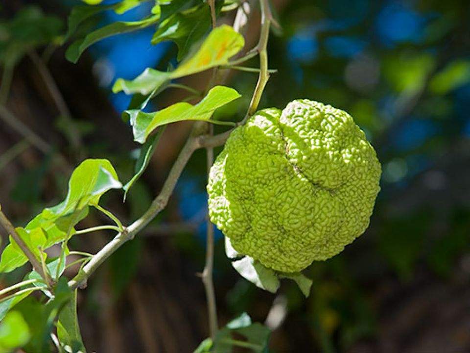 Close-up view of the large fruit of an Osage orange tree on the U.S. Capitol Grounds.