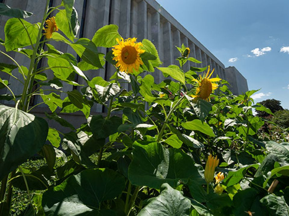 Sunflowers in the 2018 victory garden near the Library of Congress James Madison Building.