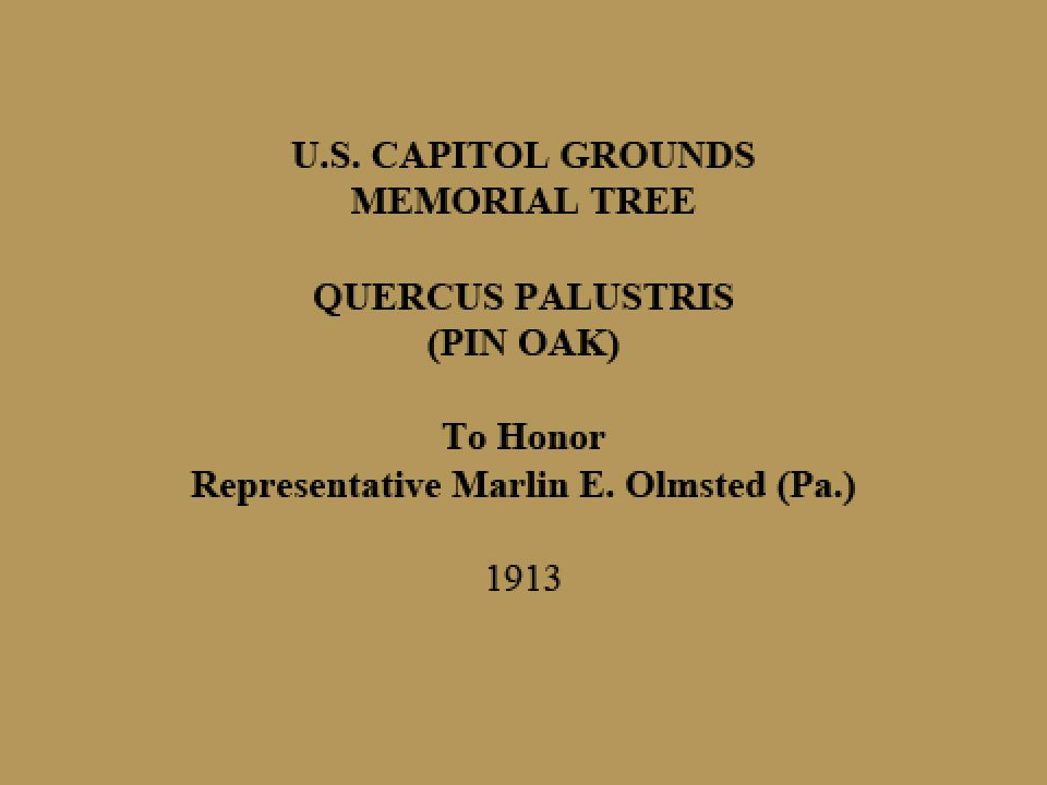 U.S. Capitol Grounds Memorial Tree  Quercus palustris (Pin Oak)  To Honor Representative Marlin E. Olmsted (Pa.)  1913