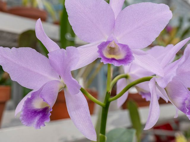 This donated orchid adds to the rich heritage and importance of the U.S. Botanic Garden's collection.