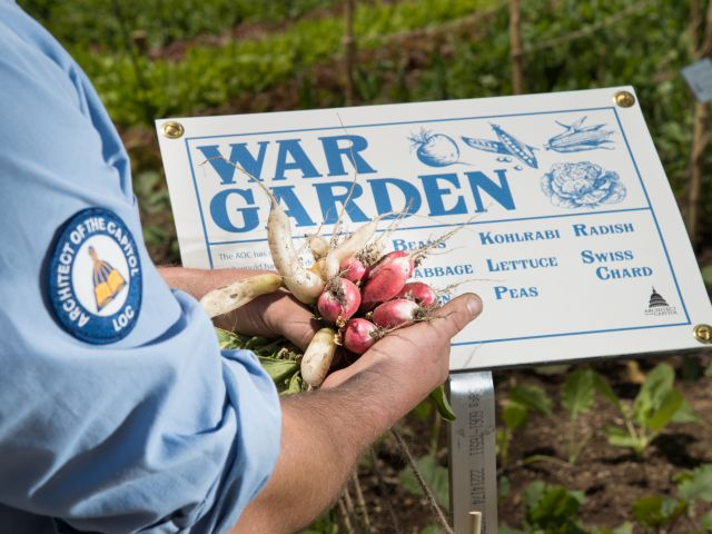 An Architect of the Capitol employee holds radishes in front of a War Garden sign.
