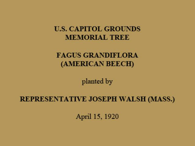 U.S. Capitol Grounds Memorial Tree  Fagus grandiflora (American Beech)  planted by  Representative Joseph Walsh (Mass.)  April 15, 1920