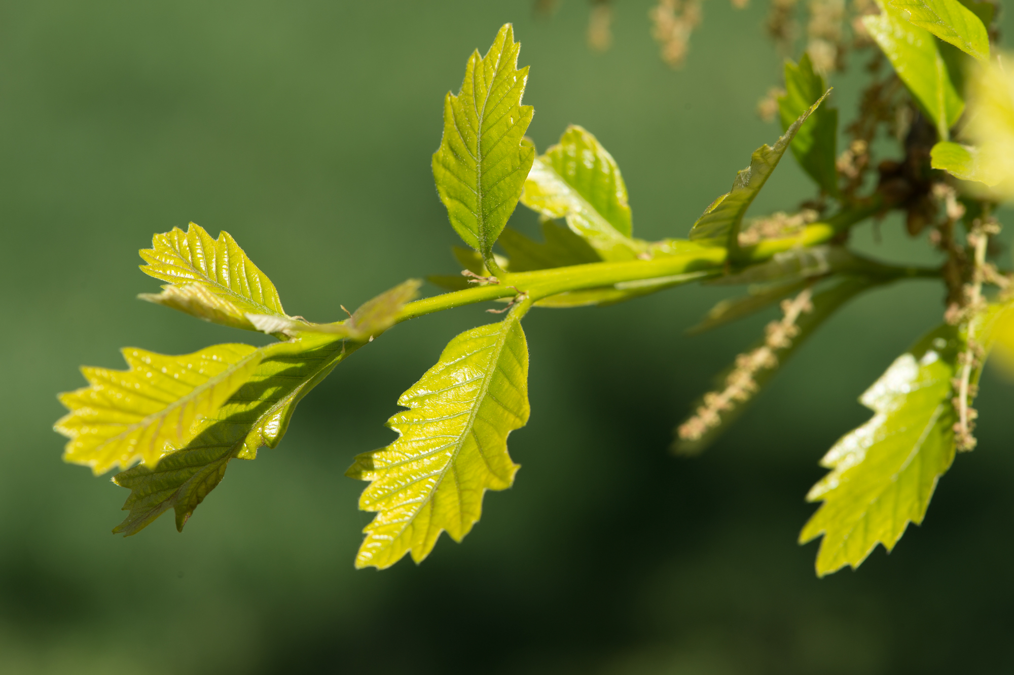 Up-close photo of the swamp white oak leafs.