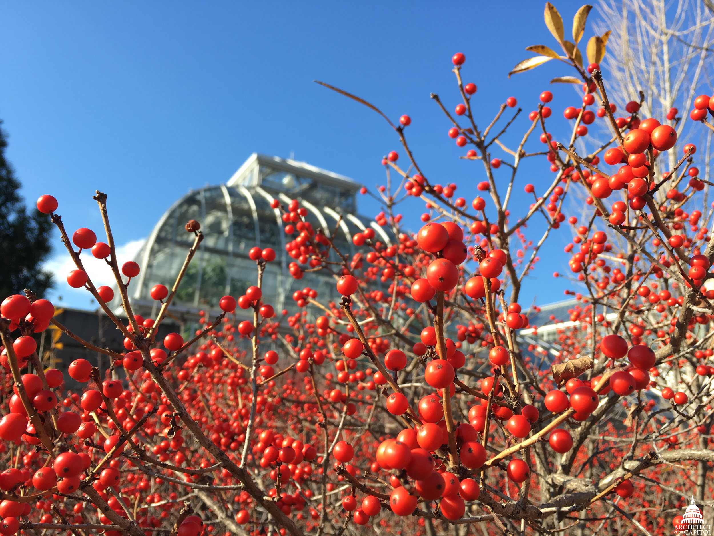 Winterberries (Ilex verticillata) - winter at United States Botanic Garden.