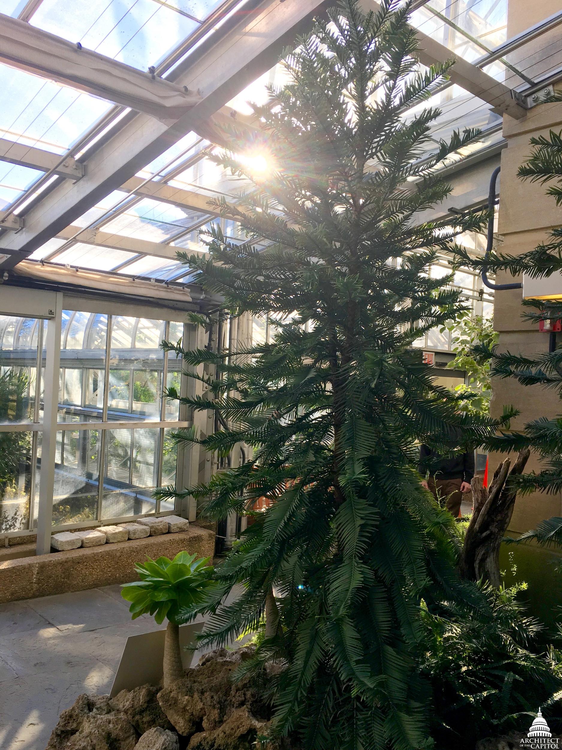 The U.S. Botanic Garden's Wollemi pine.